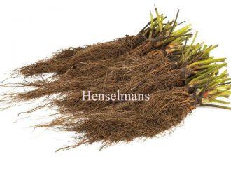 Henselmans-braskiu-daigai